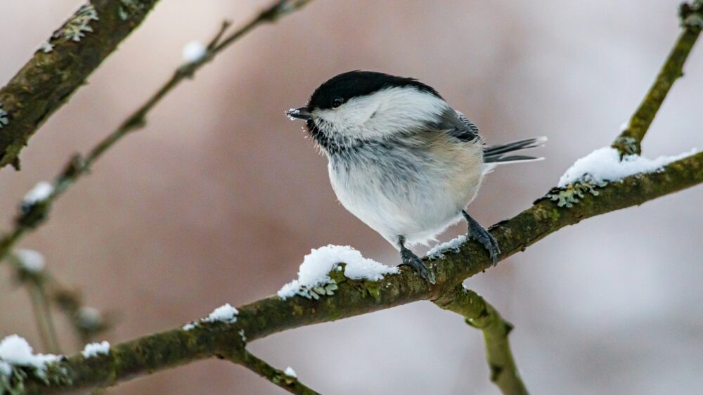 Winter Birdwatching in Muskoka